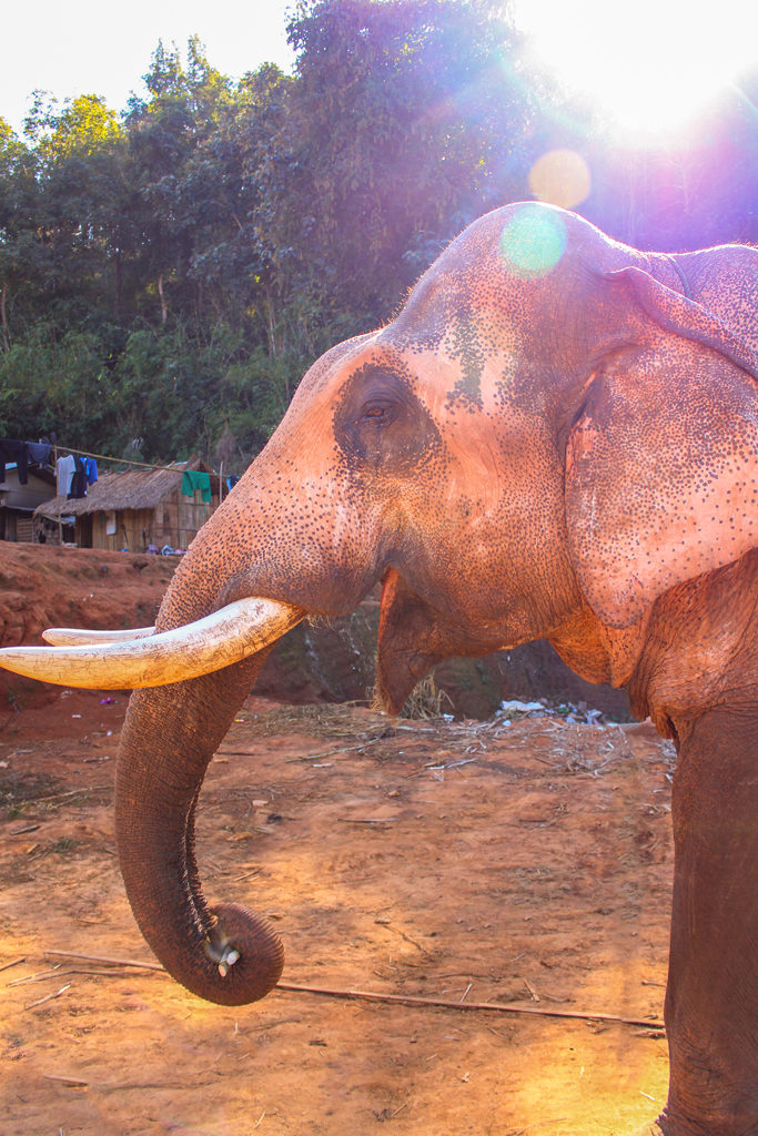 Here's one of our new elephant friends at the Elephant Sanctuary in Chiang Mai, Thailand.